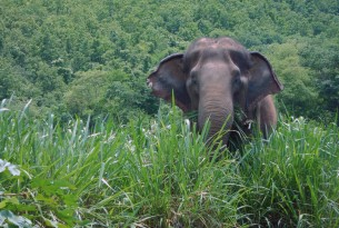 The elephant Thong Dee munching in the wild grasses