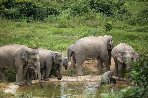A herd of wild elephants walking in Kui Buri National Park in the south of Thailand
