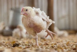 Major restaurant chain follows our advice and commits to improve chicken welfare