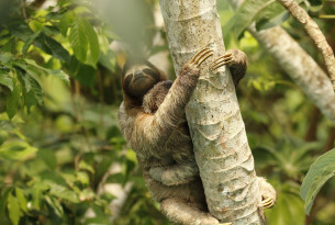 A sloth in the Amazon