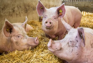 Pigs in group housing with deep beds in a higher welfare indoor farm in the UK.