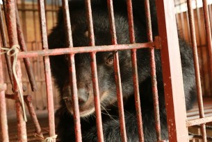 Cruel bear bile industry is thriving despite pandemic risks