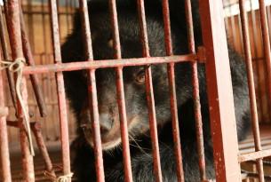 A bear on a bear bile farm