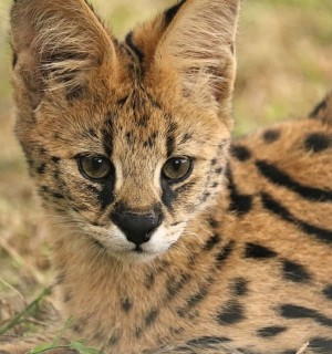 Serval in sanctuary after being rescued from the pet trade - World Animal Protection - Wildlife. Not pets