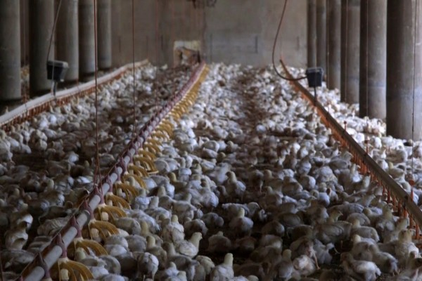 Billions of the world's chickens are suffering in secret