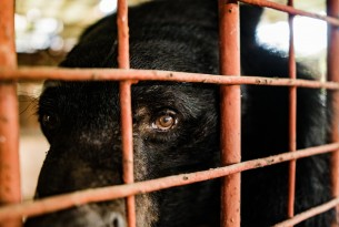 A bear suffering on a bear bile farm - World Animal Protection
