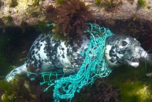 A seal trapped in netting