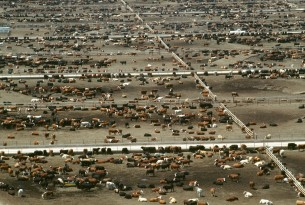 cattle on feedlot