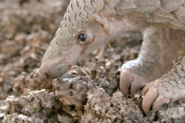 A pangolin forages for termites at the wildlife centre where it is being cared for.