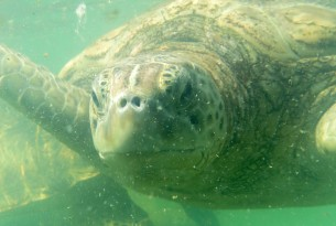 Westminster Reception for Stop Sea Turtle Farming
