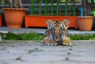 Young tiger chained at tourist attraction