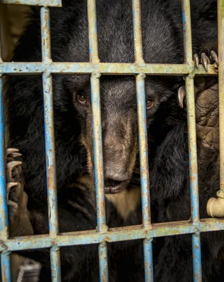 Pictured: A bear kept in a cage to fuel the bear bile industry.