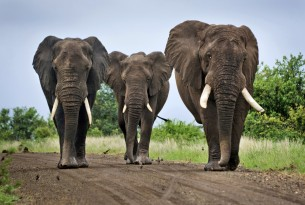 Three elephants in Kruger National Park, South Africa.