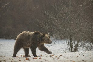 A bear walking in the snow at the World Animal Protection funded sanctuary, Zarnesti, Romania