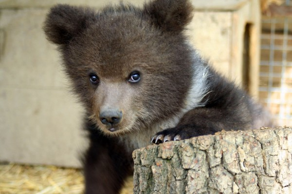 Bear cub at Libearty sanctuary