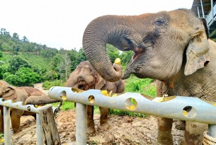 Elephants eating at the feeding station at ChangChill