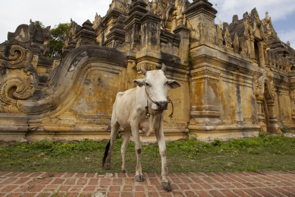 Cow inside Me Nu Temple in Myanmar - World Animal Protection