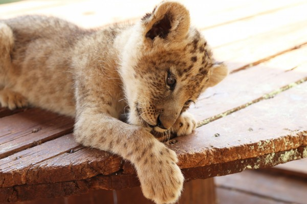 A lion cub at a renowned venue in South Africa The venue adjoins a suspected breeding facility and many of these animals would eventually be used for canned hunting, and traditional medicine. Credit Line: World Animal Protection