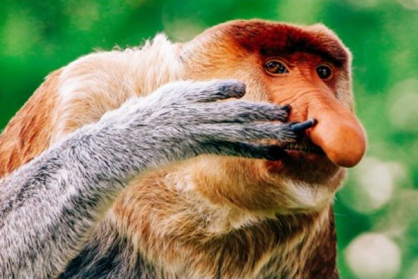 Pictured: a proboscis monkey