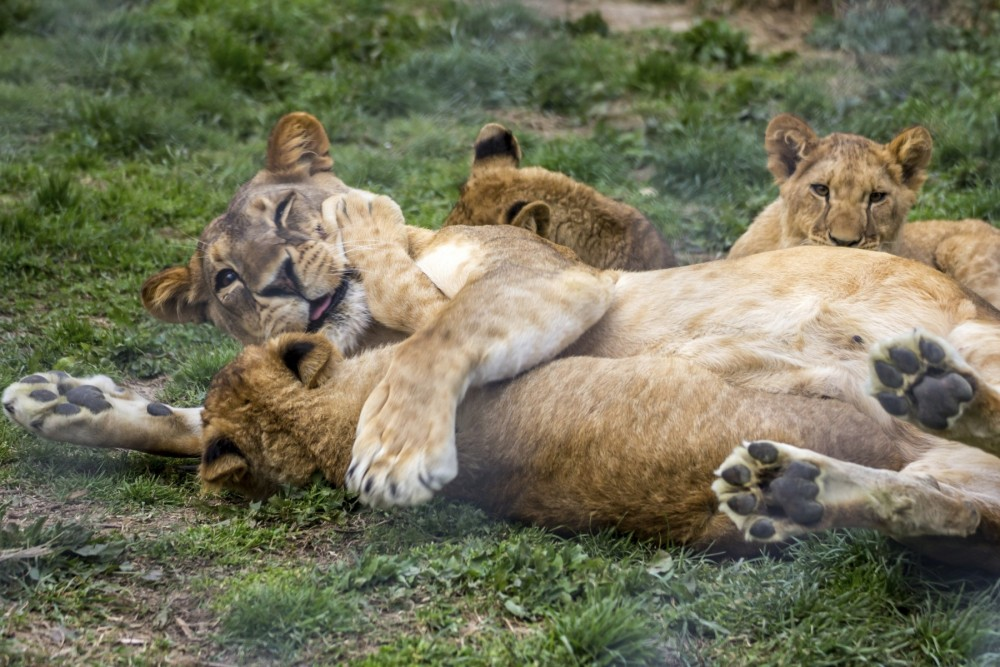 Lions in Kenya - World Animal Protection