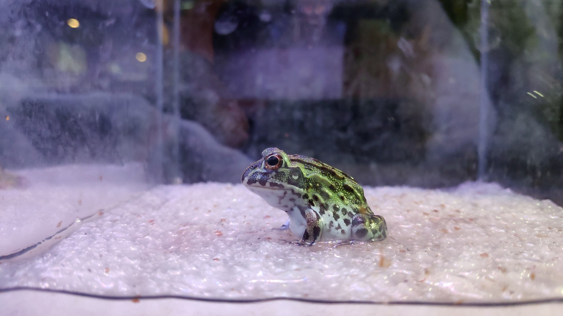 A Pacman frog in a tank