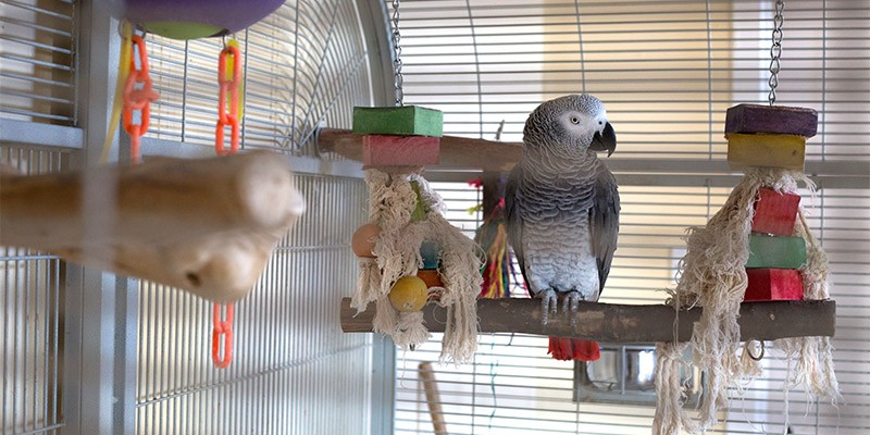 An African grey parrot in a cage with some toys