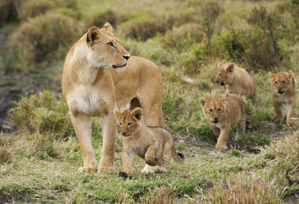 A lioness and her four young cubs in a national park in Kenya - World Animal Protection