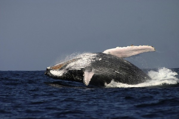 Whale breaching in the Pacific Ocean - World Animal Protection - Sea Change