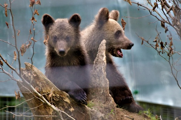 Two rescued baby bears - World Animal Protection