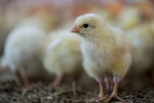 chicks on a farm, change for chickens