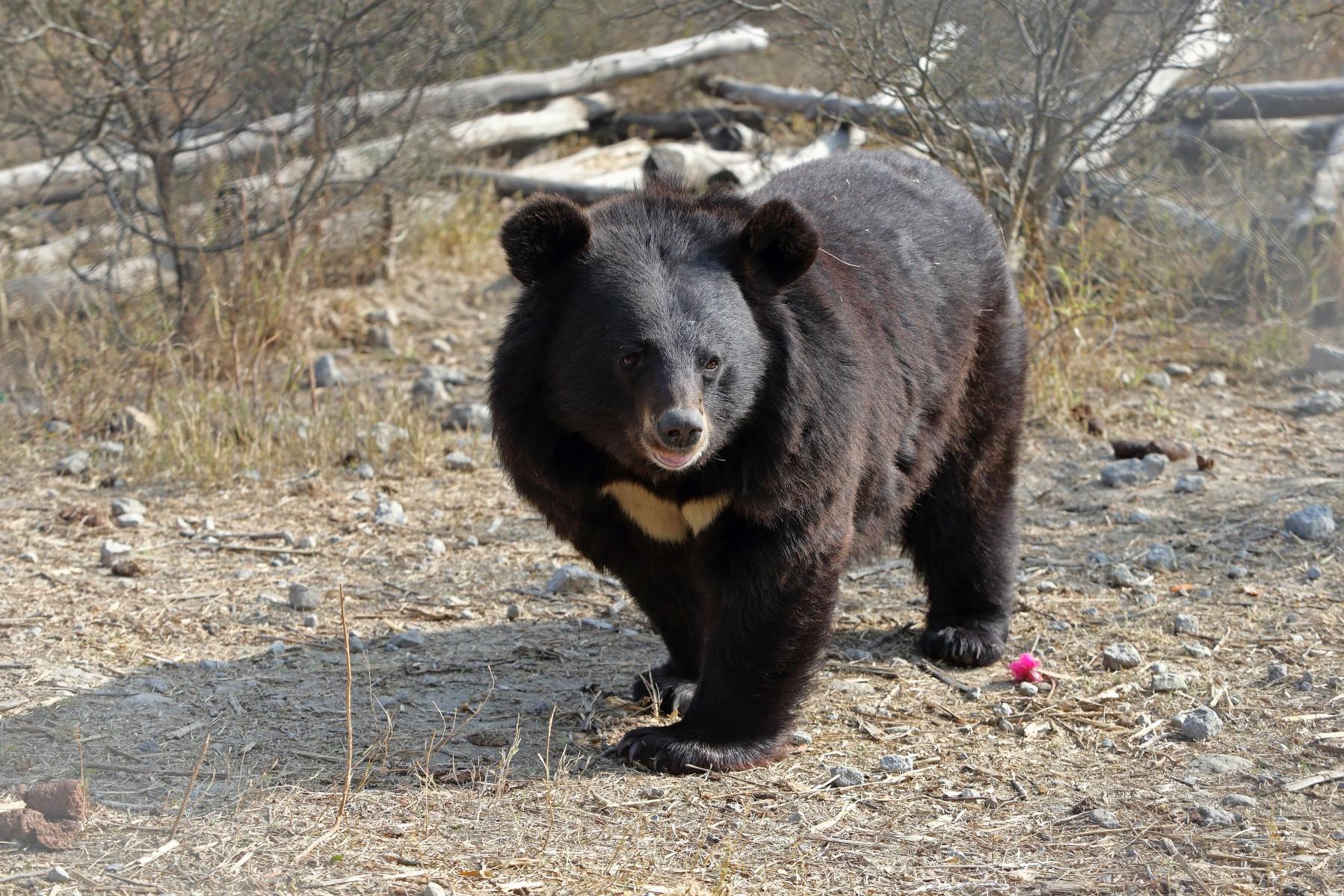 A bear at the Balkasar Bear Sanctuary in Pakistan