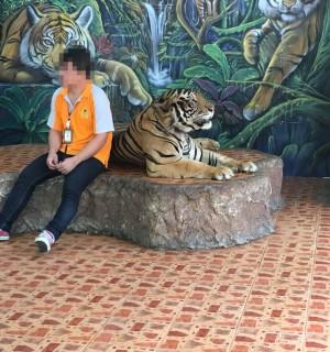 Tigre acorrentado é explorado para que turistas tirem selfies ao seu lado