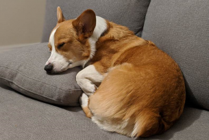 Ollie the corgi napping