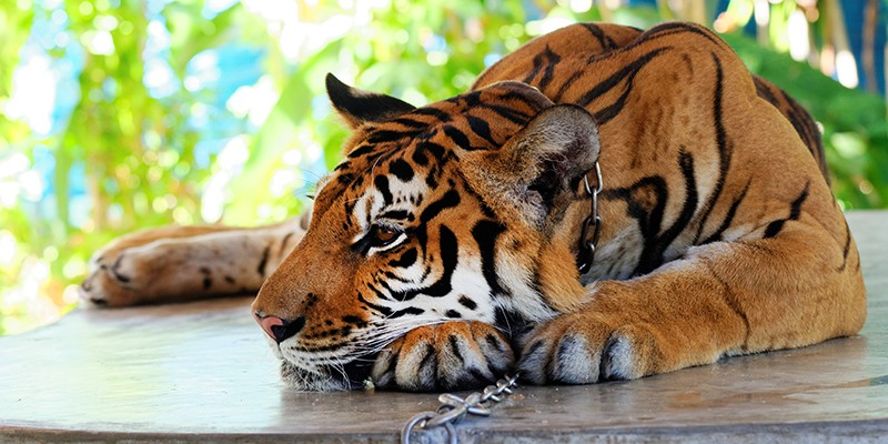 A chained tiger resting with their head on their paws