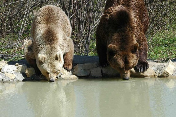 Two bears drink from the pool at the bear sanctuary in Zarnesti, Romania.