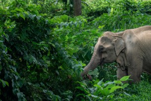 Elephant foraging in high welfare venue