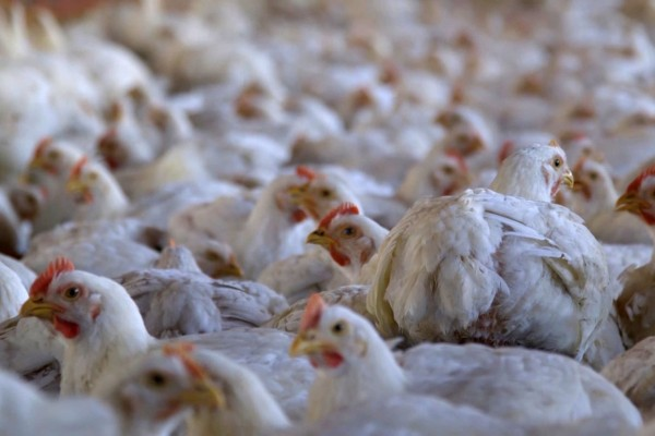 The Pecking Order: Chickens on a factory farm