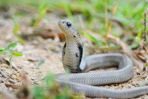 Cobra naja em meio à natureza