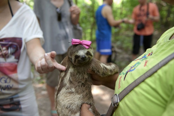 Local sloths are taken from the wild and used for harmful selfies with tourists, in Manaus, Brazil