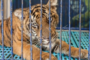 Fear for tigers, as company behind cruel Tiger Temple plans to open a new venue