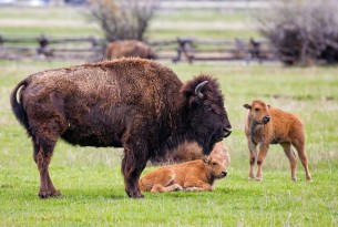 Bison and calves on field