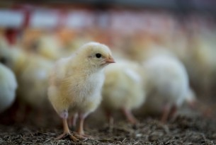 Chick in a higher welfare farm in the Netherlands
