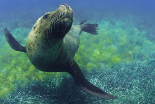 Sea lion swimming in the wild - iStock by Getty Images - World Animal Protection