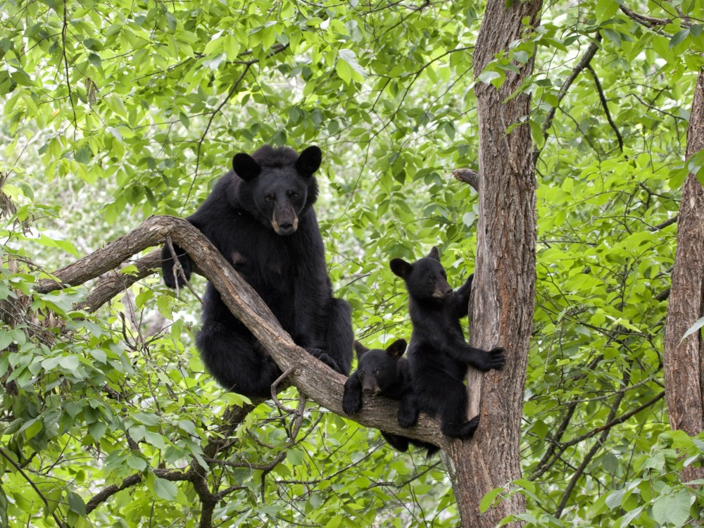 Pictured: A North American black bear and her cubs in a tree.