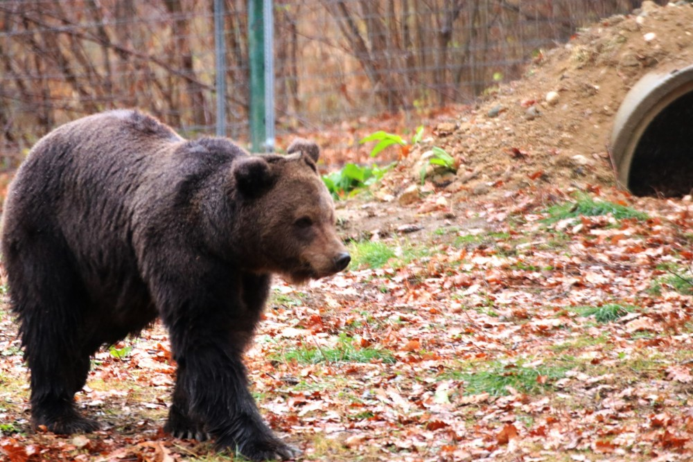 Roxana, a bear at the Libearty bear sanctuary