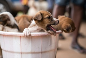 Puppies in a bucket waiting to get vaccinated