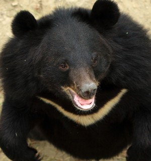 Pictured; Anjuman (meaning groups of stars) is a female Asiatic black bear. Credit Line: World Animal Protection