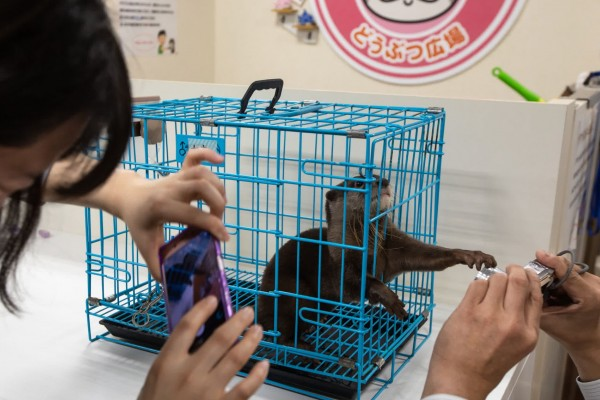 Otter trapped in a cruel otter cafe in Japan
