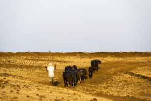 A farmer drives his buffalo through parched terrain in Beed district, Maharashtra, India.