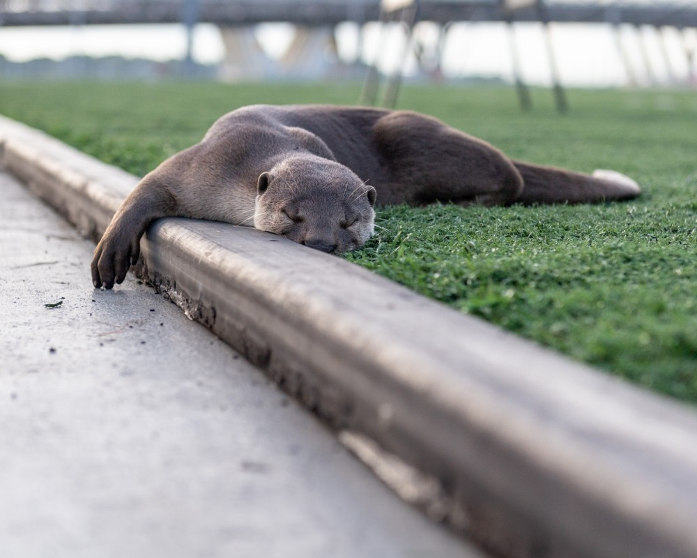 A wild Asian otter resting on the grass in Singapore.